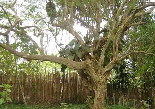 Fotos rboles del jard n bot nico san francisco moyobamba for Arboles para cierre de jardin