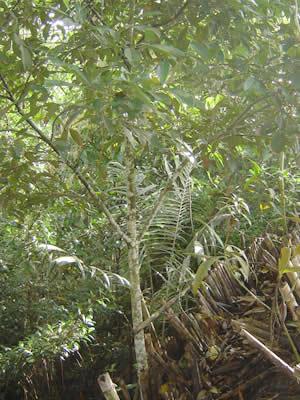 Fotos rboles del jard n bot nico san francisco moyobamba for Arboles del jardin botanico